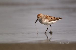 Calidris-mauri;Prey;Reflection;Sandpiper;Shorebird;Shoreline;Western-Sandpiper;b