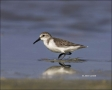 Western-Sandpiper;Sandpiper;Calidris-mauri;shorebirds;one-animal;close-up;color-