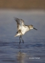 Western-Sandpiper;Florida;Southeast-USA;Calidris-mauri;shorebirds;one-animal;clo