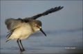 Western-Sandpiper;Sandpiper;Flight;Florida;Southeast-USA;Calidris-mauri;shorebir