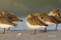 Western-Sandpiper;Sandpiper;Florida;Southeast-USA;Calidris-mauri;Sleeping;Flock;