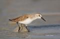 Western-Sandpiper;Sandpiper;Calidris-mauri;Shorebird;shorebirds;closeup;color-im