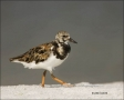 Florida;Ruddy-Turnstone;Turnstone;shorebirds;one-animal;close-up;color-image;nob