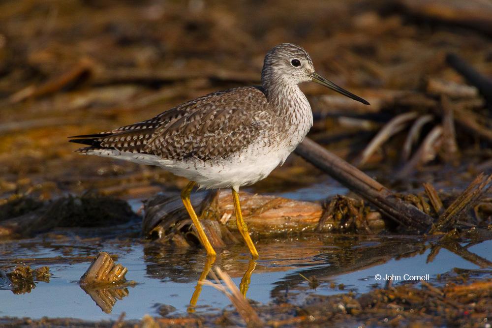 Greater Yellowlegs;Merced National Wildlife Reserve;Shorebird;Tringa melanoleuca;Yellowlegs;foraging;wader;water