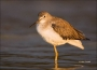 Yellowlegs;Greater-Yellowlegs;Florida;Southeast-USA;Tringa-melanoleuca;shorebird