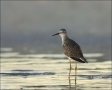 Lesser-Yellowlegs;Yellowlegs;Tringa-flavipes;shorebirds;one-animal;close-up;colo