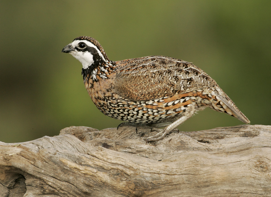 Quail;Male;Southwest USA;Texas;Northern Bobwhite;Colinus virginianus;one animal;close-up;color image;photography;day;outdoors. Wildlife;birds;animals in the wild;avifauna;feathered;feathers;wilderness;perch;perching;watch;portrait;eye;nature;wild;looking;perched;watchful