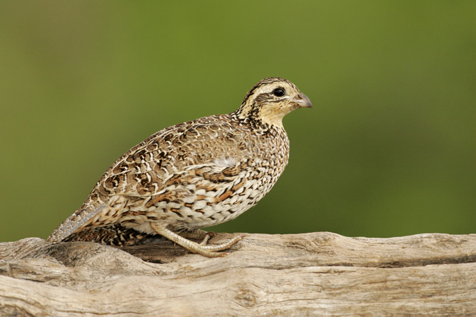 Quail;Female;Southwest USA;Texas;Northern Bobwhite;Colinus virginianus;one animal;close-up;color image;photography;day;outdoors. Wildlife;birds;animals in the wild;avifauna;feathered;feathers;wilderness;perch;perching;watch;portrait;eye;nature;wild;looking;perched;watchful