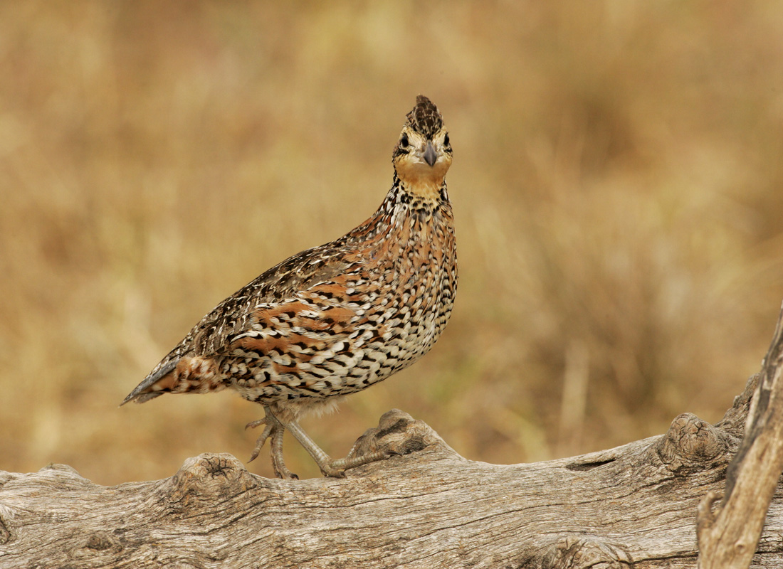 Female;Quail;Southwest USA;Texas;Northern Bobwhite;Colinus virginianus;one animal;close-up;color image;photography;day;outdoors. Wildlife;birds;animals in the wild;avifauna;feathered;feathers;wilderness;perch;perching;watch;portrait;eye;nature;wild;looking;perched;watchful
