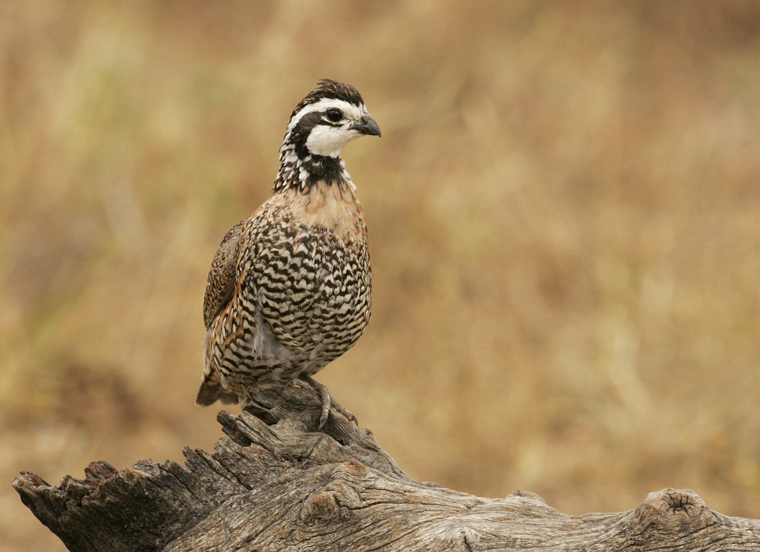 Male;Quail;Southwest USA;Texas;Northern Bobwhite;Colinus virginianus;one animal;close-up;color image;photography;day;outdoors. Wildlife;birds;animals in the wild;avifauna;feathered;feathers;wilderness;perch;perching;watch;portrait;eye;nature;wild;looking;perched;watchful