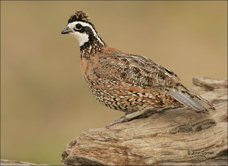 Quail;Male;Southwest USA;Texas;Northern Bobwhite;Colinus virginianus;one animal;close-up;color image;nobody;photography;day;outdoors. Wildlife;birds;animals in the wild;One;avifauna;bird;feather;feathered;feathers;nature;outdoor;outdoors;wild;wilderness;wildlife;color photograph;natural