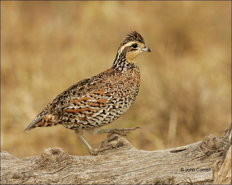 Female;Quail;Southwest USA;Texas;Northern Bobwhite;Colinus virginianus;one animal;close-up;color image;nobody;photography;day;outdoors. Wildlife;birds;animals in the wild;One;avifauna;bird;feather;feathered;feathers;nature;outdoor;outdoors;wild;wilderness;wildlife;color photograph;natural