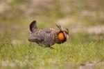 Breeding-Behavior;Breeding-Display;Breeding-Plumage;Greater-Prairie-Chicken;One;