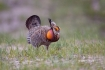 Breeding-Behavior;Breeding-Display;Breeding-Plumage;Greater-Prairie-Chicken;One;