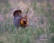 Tympanuchus-cupido;Breeding-Behavior;Breeding-Plumage;Lek;one;one-animal;avifaun