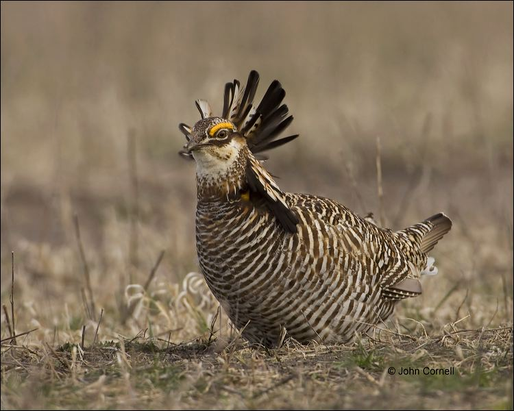Greater Prairie Chicken;Prairie Chicken;Minnesota;Male;Breeding Display;Tympanuchus cupido;one animal;close-up;color image;nobody;photography;day;birds;animals in the wild;Aphelocoma coerulescens;Breeding Behavior;Breeding Plumage;outdoors;Wildlife