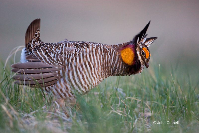 Tympanuchus cupido;Breeding Behavior;Breeding Plumage;Lek;one;one animal;avifauna;bird;birds;feather;feathered;outdoors;outside;untamed;wild;color;color photograph;daytime;Greater Prairie Chicken;Sandhills;Prairie;Grasslands;Prairie Chicken