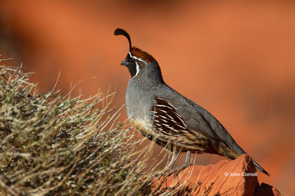 Callipepla gambelii;Gambel's Quail;Gambels Quail;One;Quail;avifauna;bird;birds;color image;color photograph;feather;feathered;feathers;natural;nature;outdoor;outdoors;wild;wilderness;wildlife