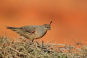 Callipepla-gambelii;Female;Gambels-Quail;Gambels-Quail;One;Quail;avifauna;bird;b