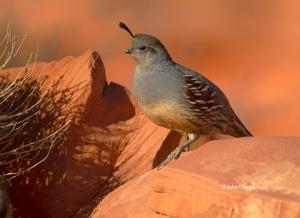 Callipepla-gambelii;Gambels-Quail;Gambels-Quail;One;Quail;avifauna;bird;birds;co