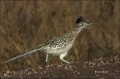 Greater-Roadrunner;Roadrunner;Geococcyx-californianus;Southwest-USA;one-animal;c