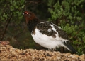 Willow-Ptarmigan;Ptarmigan;Lagopus-lagopus;Arctic;one-animal;close_up;color-imag