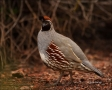 Gambels-Quail;Quail;Callipepla-gambelii;one-animal;close_up;color-image;nobody;p