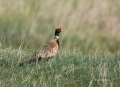 Pheasant;Phasianus-colchicus;one-animal;close_up;color-image;photography;day;bir