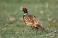Pheasant;Phasianus-colchicus;one-animal;close-up;color-image;photography;day;bir