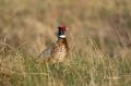 Pheasant;Phasianus-colchicus;Ring-necked-Pheasant;Sandhills;Prairie;Grasslands