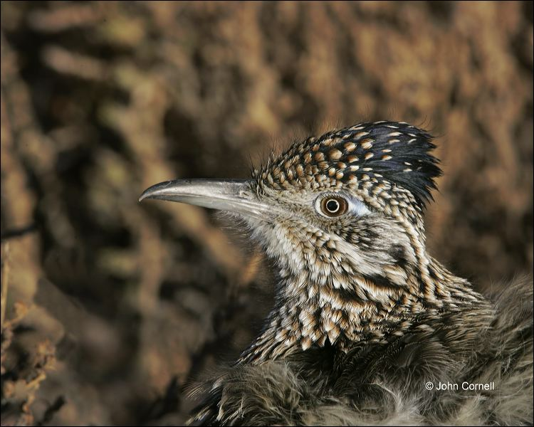 Greater Roadrunner;Roadrunner;Geococcyx californianus;Southwest USA;one animal;close-up;color image;nobody;photography;day;birds;animals in the wild;One;avifauna;bird;feather;feathered;outdoors;outside;untamed;wild;color;color photograph;daytime;close up;feathers;wilderness;perch;perching;watching;watchful;Close up;Wildlife