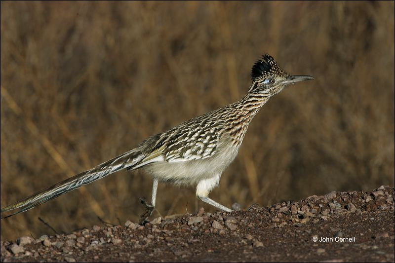 Greater Roadrunner;Roadrunner;Geococcyx californianus;Southwest USA;one animal;close-up;color image;nobody;photography;day;outdoors. Wildlife;birds;animals in the wild;One;avifauna;bird;feather;feathered;outdoors;outside;untamed;wild;color;color photograph;daytime;close up;feathers;wilderness;perch;perching;watching;watchful;Close up