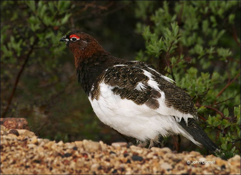 Willow Ptarmigan;Ptarmigan;Lagopus lagopus;Arctic;one animal;close-up;color image;nobody;photography;day;outdoors. Wildlife;birds;animals in the wild