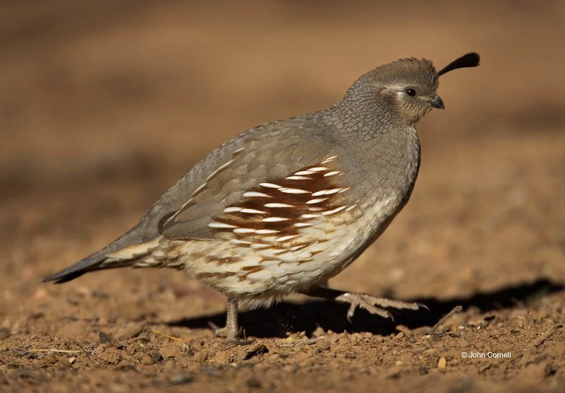 Gambel's Quail;Quail;Callipepla gambelii;one animal;close-up;color image;nobody;photography;day;birds;animals in the wild;portrait;watchful;One;avifauna;bird;feather;feathered;outdoors;outside;untamed;wild;color;color photograph;daytime;close up;feathers;wilderness;perch;perching;watching;Wildlife