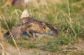 Grouse;Tympanuchus-phasianellus;Sharp_tailed-Grouse;One;one-animal;avifauna;bird