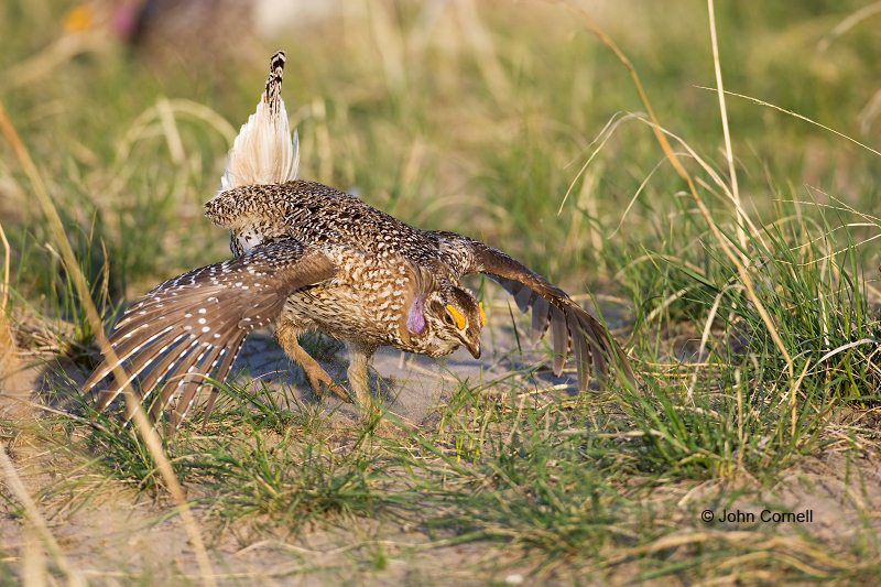 Grouse;Tympanuchus phasianellus;Sharp-tailed Grouse;One;one animal;avifauna;bird;birds;feather;feathered;outdoors;outside;untamed;wild;color;color photograph;daytime;close up;color image;photography;animals in the wild;feathers;wilderness;perch;perching;watching;watchful;Breeding Behavior;Breeding Plumage;Male;Sandhills;Prairie;Grasslands