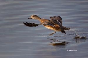 American-Wigeon;Anas-americana;California;Colusa-National-Wildlife-Refuge;Duck;F