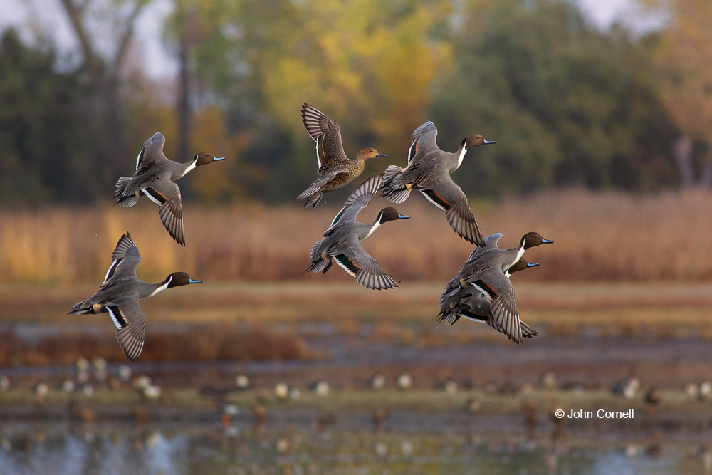 Anas acuta;Breeding Behavior;Breeding Season;California;Colusa National Wildlife Refuge;Duck;Flying Bird;Northern Pintail;Photography;action;active;aloft;behavior;birds;color image;courtship flight;flight;fly;flying;in flight;motion;movement;soar;soaring;wing;winged;wings