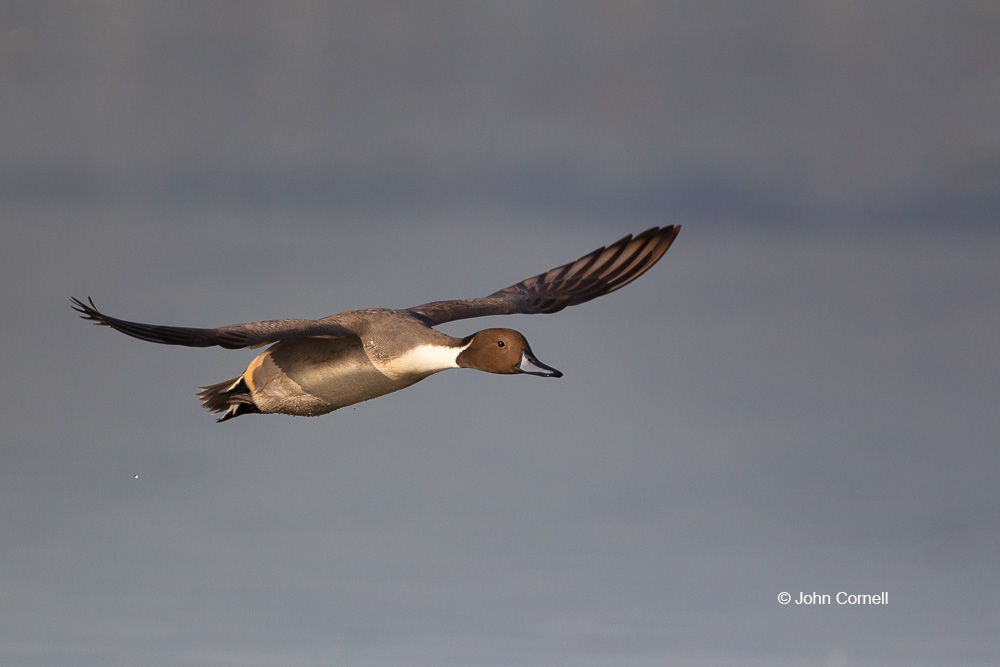 Anas acuta;California;Duck;Llano Seco NWR;Northern Pintail;One;avifauna;bird;birds;color image;color photograph;feather;feathered;feathers;flight;natural;nature;outdoor;outdoors;wild;wilderness;wildlife
