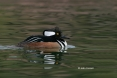 Hooded-Merganser;Lophodytes-cucullatus;Merganser;One;avifauna;bird;birds;color-i
