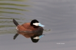 Duck;Oxyura-jamaicensis;Ruddy-Duck