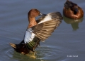 Cinnamon-Teal;Teal;one-animal;close-up;color-image;photography;day;outdoors-Wild