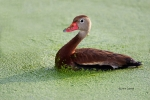 Animals-in-the-Wild;Black-bellied-Whistling-Duck;Dendrocygna-autumnalis;One;Phot