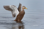 Anas-platyrhynchos;Duck;Mottled-Duck;One;avifauna;bird;birds;color-image;color-p