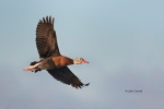 Black-bellied-Whistling-Duck;Dendrocygna-autumnalis;Duck;Flying-Bird;action;acti