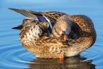 Anas-platyrhynchos;Duck;Female;Mallard;Preening;Waterfowl;blur-water;water