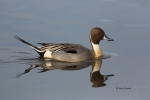 Anas-acuta;Blue-Water;Duck;Northern-Pintail;One;Reflection;Waterfall;avifauna;bi