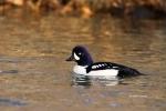 Barrows-Goldeneye;Barrows-Goldeneye;Bucephala-islandica;Duck;Male;One;Waterfowl;