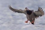 Anas-platyrhynchos;Duck;Flying-Bird;Mallard;Photography;action;active;aloft;beha
