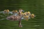 Aythya-americana;Duck;Duckling;Female;Redhead;Reflection;chicks;ducklings;nurtur